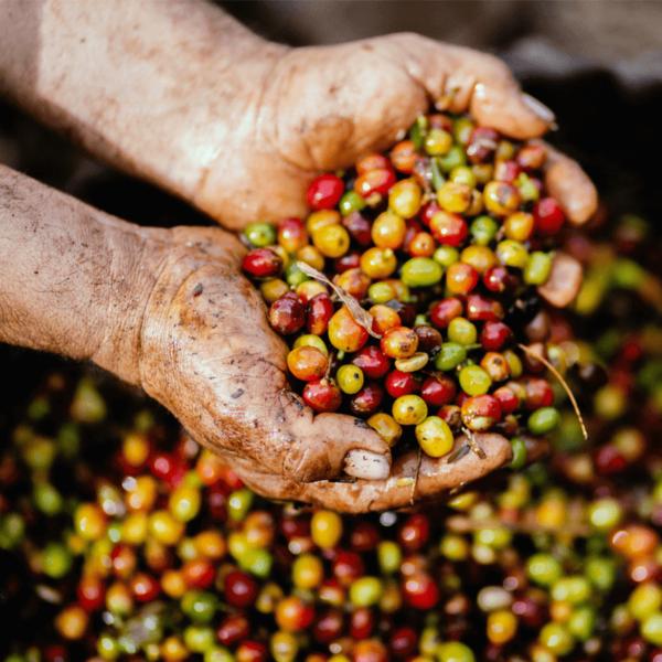 Hands holding freshly picked coffee cherries